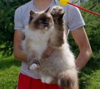 невская маскарадная кошка и дети
