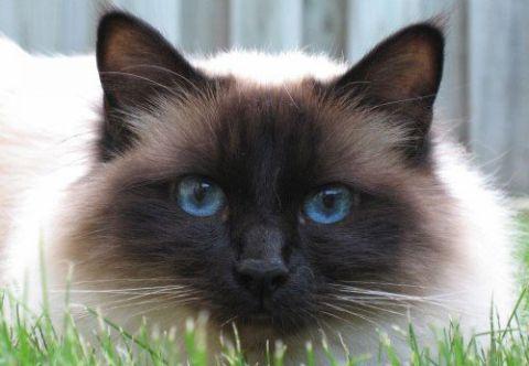 Характер священной бирманской кошки, особенности породы и поведения
