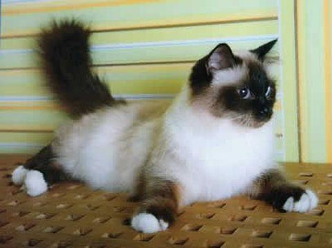 burmese_cat