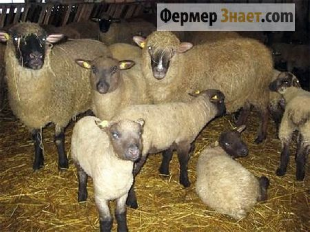 Gorky rase ovaca