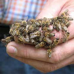Характеристики и отличительные особенности пчел породы карника