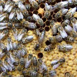 Характеристики и отзывы о карпатской породе пчел, их достоинства