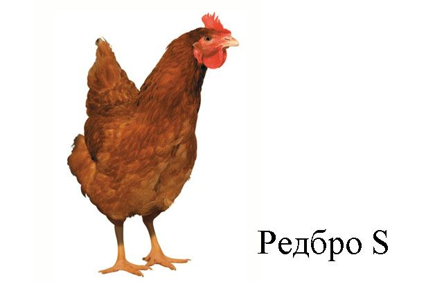Курица Редбро S