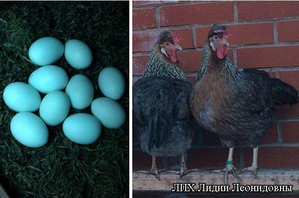 Яйца от кур породы Легбар