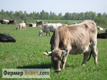 Vaci pe pășune