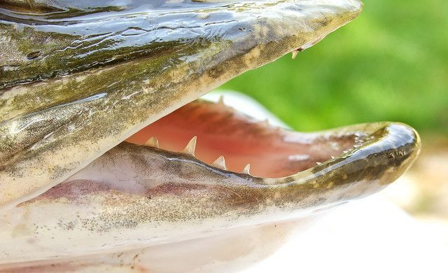 Зубы у щук подобно акульим меняются по мере износа