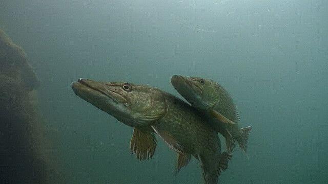 Половой диморфизм у щук проявляется только в размерах - самки ощутимо крупнее самцов, но окраска у рыб обоих полов одинаковая