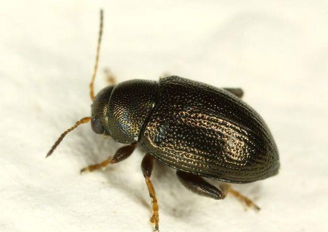 Veľké zrná blcha (Chaetocnema aridula).