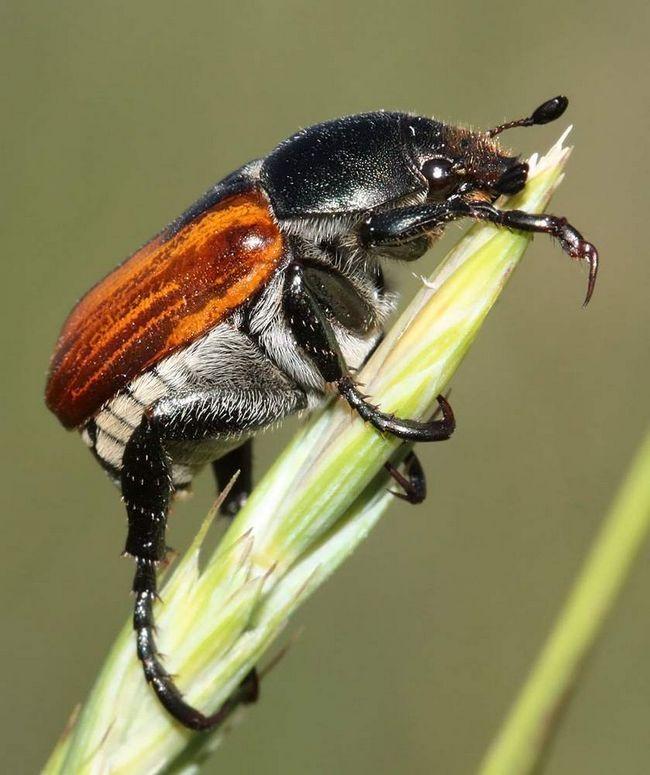V deň, kedy chrobák sníva 6 zrna pšenice.
