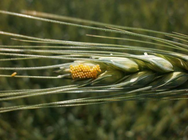 Vajcia zrná chrobák: začína a zničenie rastlín.