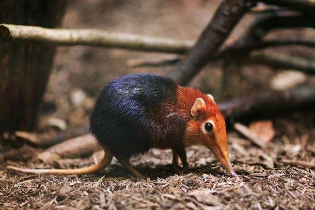 Хоботковая собачка петерса, или рыжеплечая хоботковая собачка (лат. Rhynchocyon petersi)