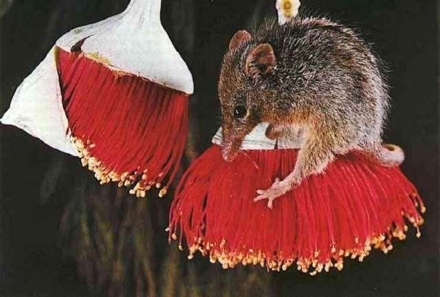 Nízká hmotnost pomáhá tato malá zvířata vylézt na nejtenčích větviček získat nektar.