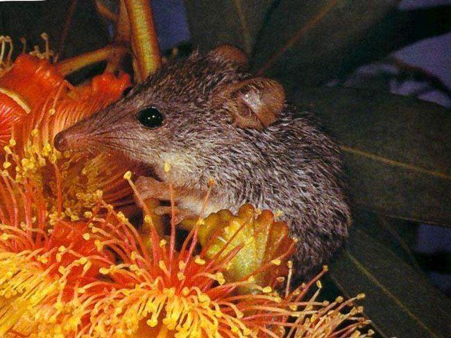 Med jezevec vačnatci jsou významnými opylovači některých kvetoucích rostlin.