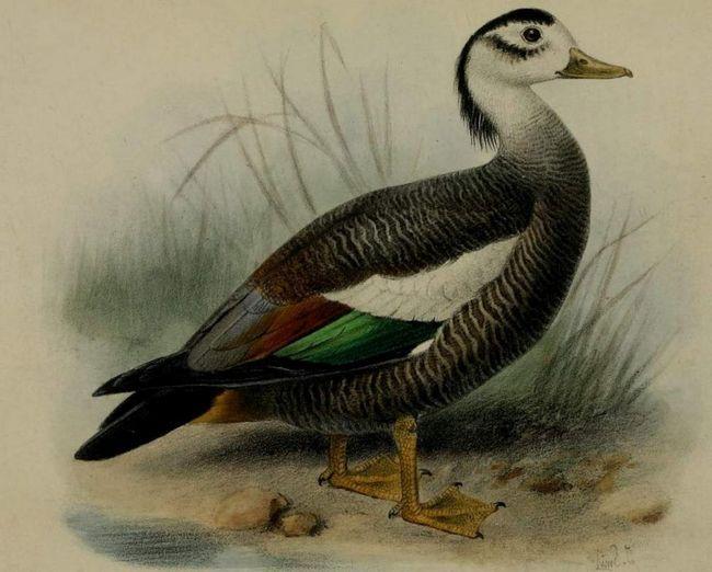 Хохлатые пеганки относятся к виду птиц, пребывающих на грани вымирания.