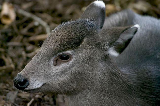 Všívané jelen (lat. Elaphodus Cephalophus)