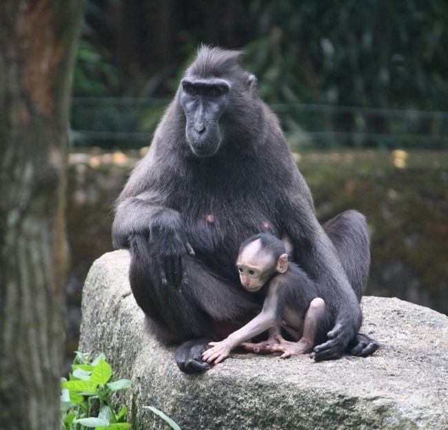 Самка павиана с малышом.
