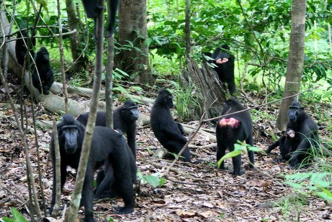 Хохлатые павианы живут группами.