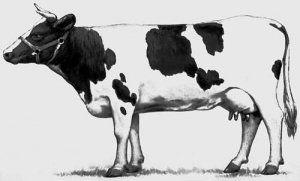 Dimenzije velika krava