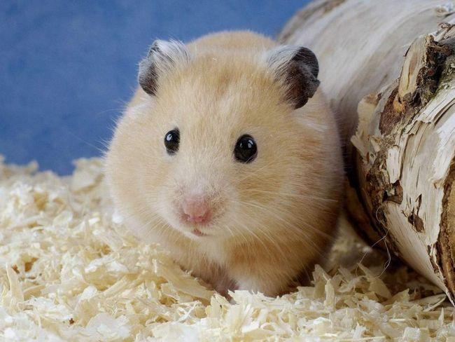Křečci jsou suchozemská zvířata, některé druhy dobře plavat, získává na lícních airbagy.