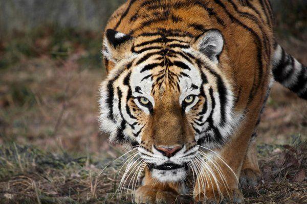 Neustrašivi Indian pas bavio tigra, pokušao je da napadne vlasnika psa.