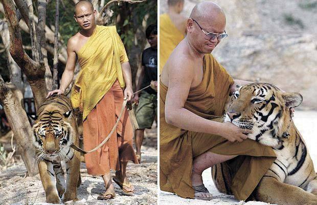 Monasi i bengalska tigra. Tajland