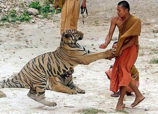 Bengalska tigra i monasi