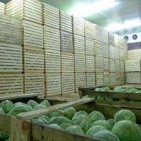 Skladovanie kapusta zelenina