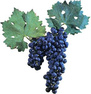 Vino od grožđa to radi sebe video
