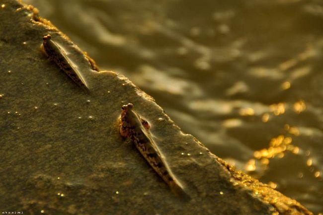 Grudnog peraja su podržani za kretanje mudskipper, a na plimi ribe su u stanju da izađu na drveće.