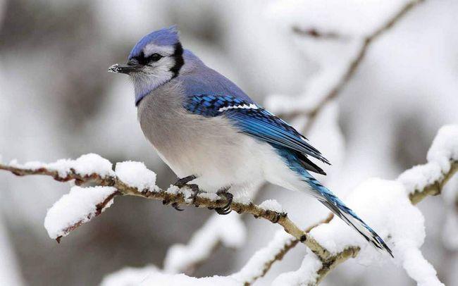 Jay ptica: kako odabrati ime za to?