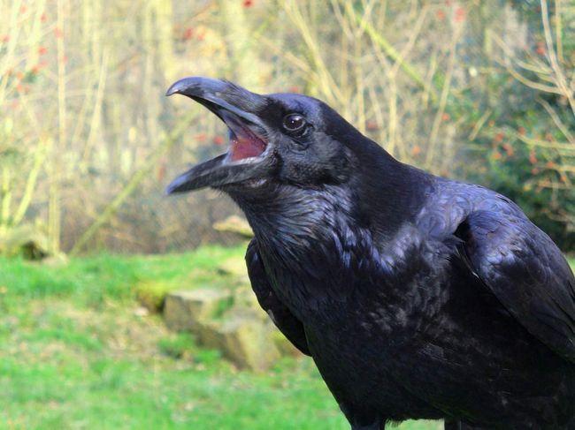 Posjetite gavran: kako bolje nazvati ovu pticu?