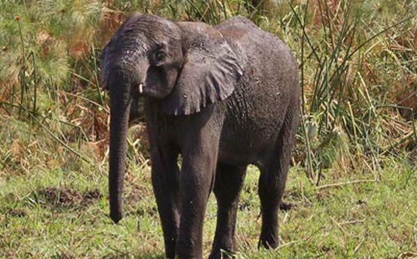 5-летний слоненок по уши увяз в болоте (фото https://dailymail.co.uk/)