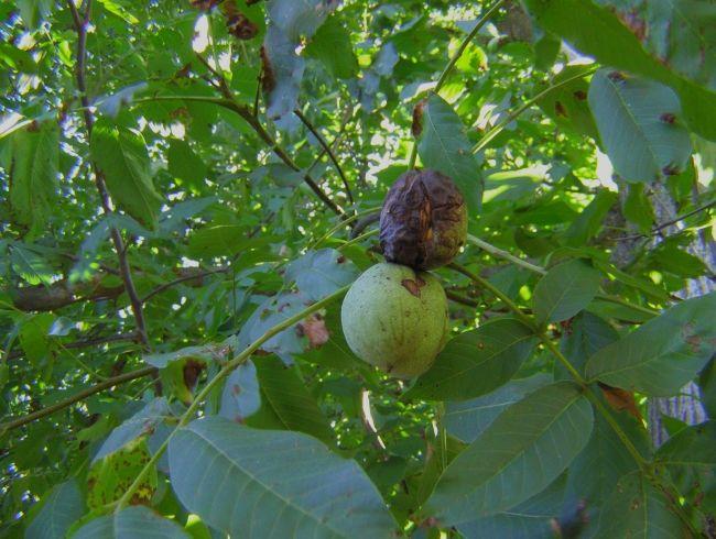 Грецкий орех: болезни и их лечение
