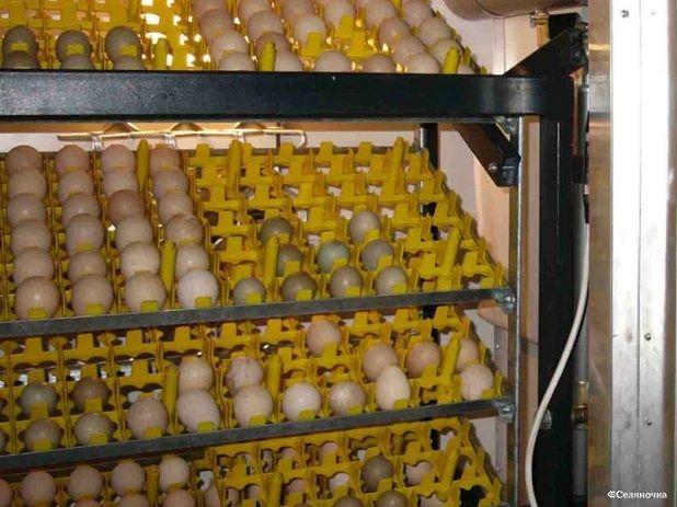 Vajíčka v inkubátoru