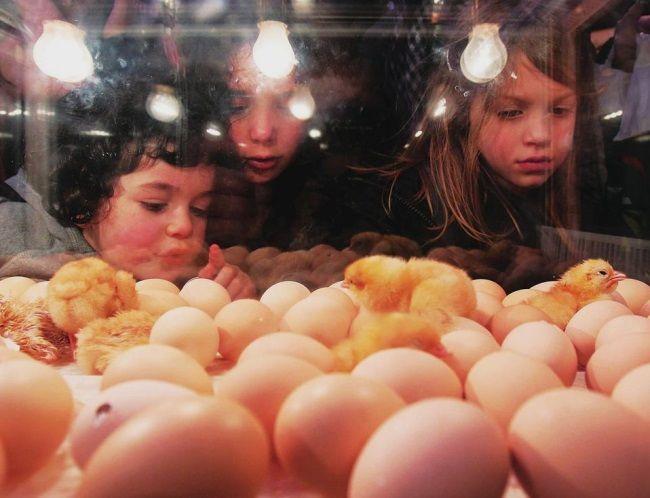 Инкубация яиц в инкубаторе