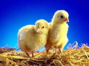 inkubace kuřecí