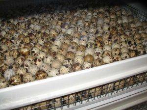 Inkubace křepelčích vajec