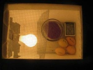 Самодельный инкубатор с яйцами