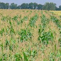 Интенсивная технология выращивания кукурузы