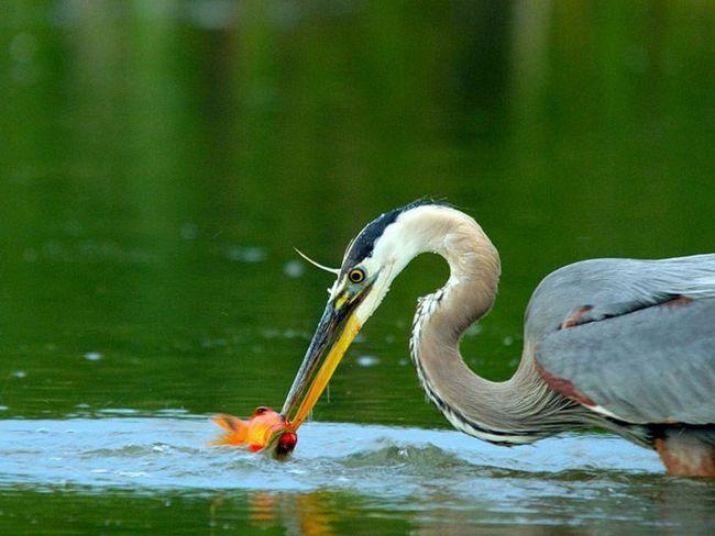 Цапля охотится в пруду на кои.