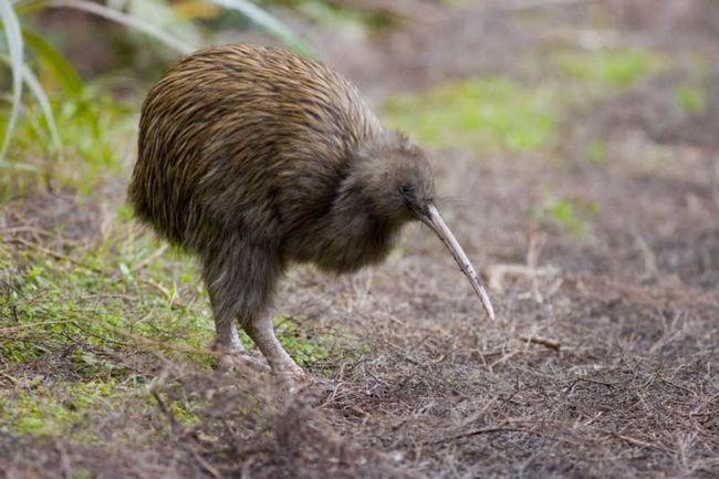 Киви - родственник страуса
