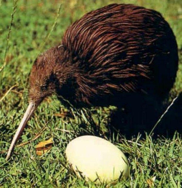 Яйца киви просто огромны по сравнению с самой птицей