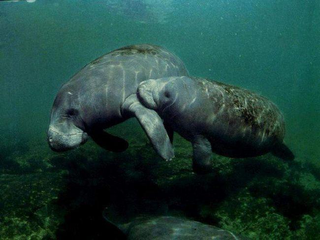 Kapustňáků (Trichechus).