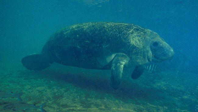 Domácí zvířata třídění manatees liší od zástupců Dugong rodiny (Dugongidae) tvar lebky a ocasu.