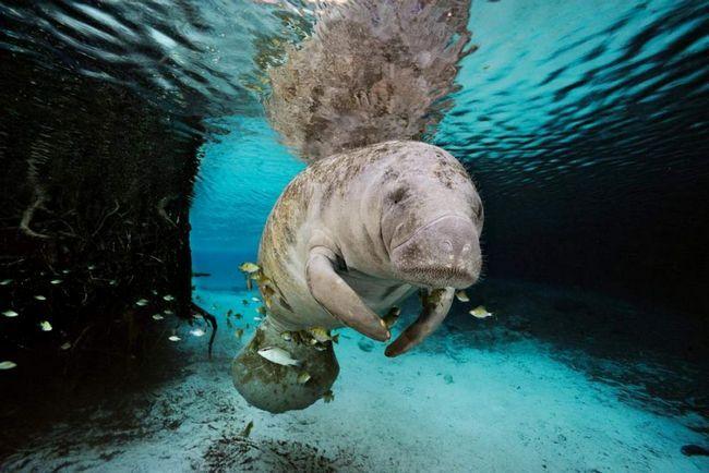 Kapustňáků spolknout rybářské náčiní, vlasec a poté, co v trávicím systému zvířete, bloudění do klubíčka a začne pomalu ho zabít.