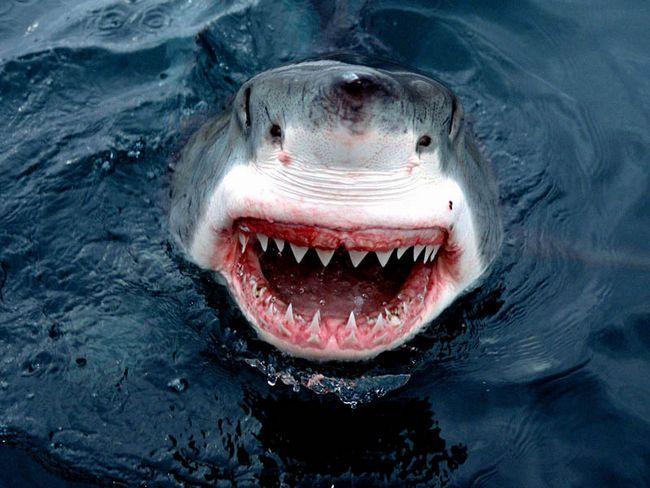 Интересные факты о белой акуле (лат. Carcharodon carcharias)