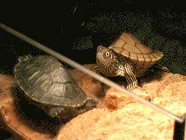 Zanimljivosti o kornjače