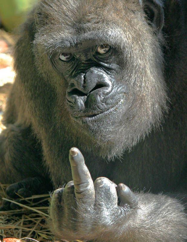 Zanimljivosti o gorile