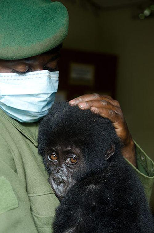Spas iz zarobljeništva beba gorila