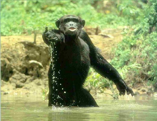 Zanimljivosti o patuljastim šimpanze (lat. Pan paniscus)